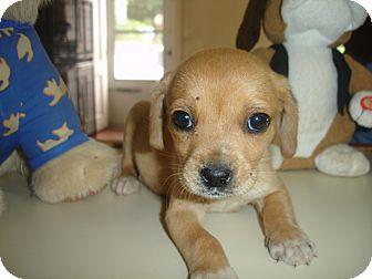 Labrador Retriever/Coonhound (Unknown Type) Mix Puppy for adoption in Old Bridge, New Jersey - Uno