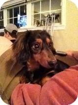 Dachshund Dog for adoption in Manahawkin, New Jersey - Sonny