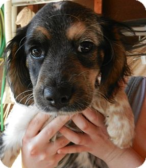 Cocker Spaniel Mix Puppy for adoption in South Jersey, New Jersey - Toby