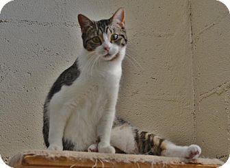 Domestic Shorthair Kitten for adoption in McDonough, Georgia - Cookie