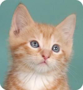Domestic Shorthair Kitten for adoption in Chicago, Illinois - Goober