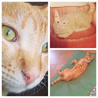 Domestic Shorthair Cat for adoption in Sunrise, Florida - Garfield