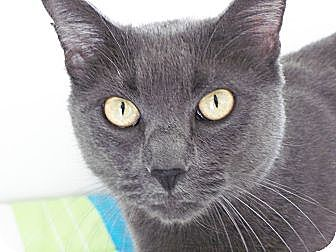 Domestic Shorthair Cat for adoption in El Cajon, California - Rasputin