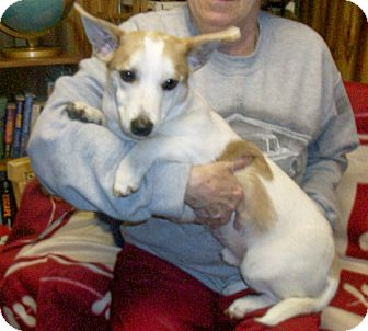 Terrier (Unknown Type, Small)/Corgi Mix Dog for adoption in Liberty Center, Ohio - Wes