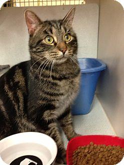 Domestic Shorthair Cat for adoption in Warren, Michigan - Raider