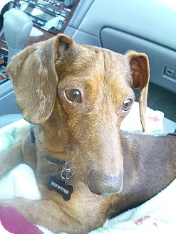 Dachshund Dog for adoption in Andalusia, Pennsylvania - Brewster