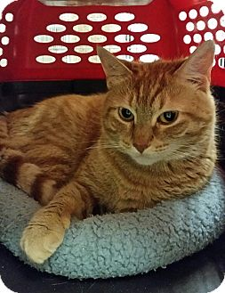 Domestic Shorthair Cat for adoption in East Meadow, New York - Annabelle