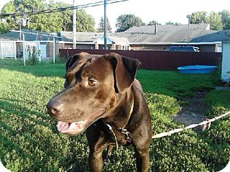 Pit Bull Terrier/Labrador Retriever Mix Dog for adoption in Browerville, Minnesota - Bam