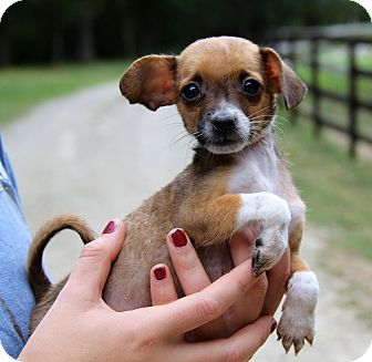 Chihuahua/Dachshund Mix Puppy for adoption in Stamford, Connecticut - Rambo