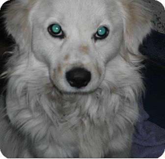 Chow Chow/Australian Shepherd Mix Dog for adoption in Gainesville, Florida - Brody