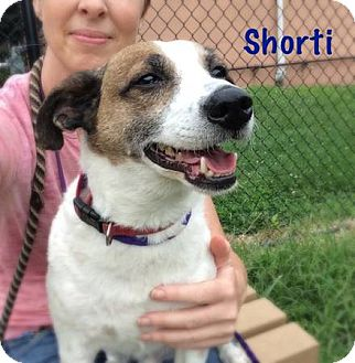 Jack Russell Terrier Mix Dog for adoption in Blue Bell, Pennsylvania - Shorti