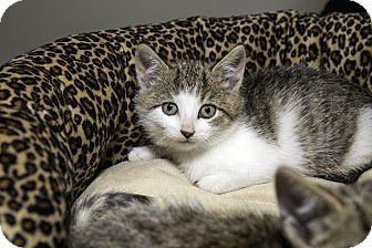 Domestic Shorthair Kitten for adoption in Brooklyn, New York - Butch