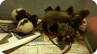 Rat for adoption in Philadelphia, Pennsylvania - LEHIGHTON MOM and 11 BABIES!