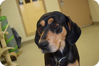 Shepherd (Unknown Type)/Hound (Unknown Type) Mix Dog for adoption in Bucyrus, Ohio - Harley Chase