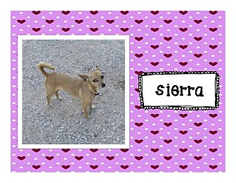 Chihuahua Mix Dog for adoption in Graford, Texas - Sierra