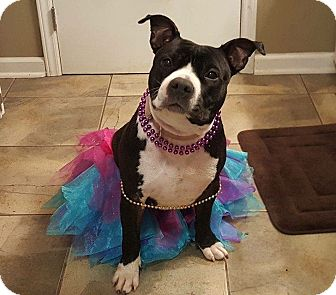 English Bulldog/Terrier (Unknown Type, Medium) Mix Dog for adoption in Apex, North Carolina - Paris