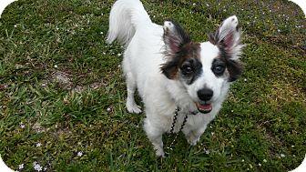 Corgi/Parson Russell Terrier Mix Dog for adoption in Boca Raton, Florida - Einstein