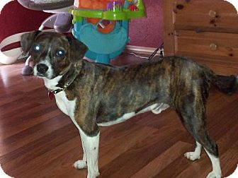 Beagle/Boston Terrier Mix Dog for adoption in Edmond, Oklahoma - Snicker