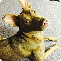 Adopt A Pet :: Cora - Washington, PA