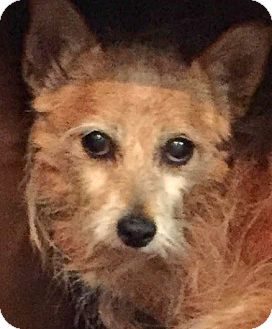 Border Terrier/Cairn Terrier Mix Dog for adoption in Boulder, Colorado - Melanie