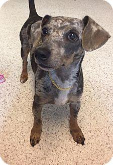 Dachshund Mix Dog for adoption in Goldens Bridge, New York - Merle