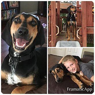 Hound (Unknown Type)/Doberman Pinscher Mix Dog for adoption in Naperville, Illinois - Stanley