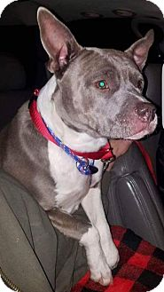 Pit Bull Terrier Mix Dog for adoption in Breinigsville, Pennsylvania - Holly **in a foster home**