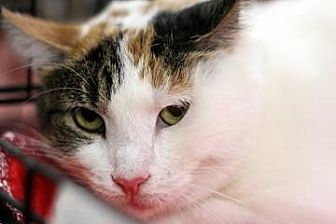 Domestic Shorthair Cat for adoption in New York, New York - Lola