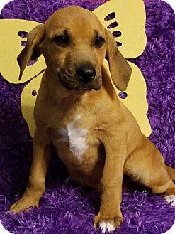 Labrador Retriever Mix Puppy for adoption in Elkton, Maryland - Denali