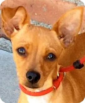 Chihuahua Mix Puppy for adoption in Los Angeles, California - FINCH (video)