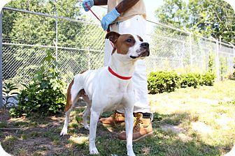 Pit Bull Terrier Mix Dog for adoption in Greensboro, North Carolina - Massey