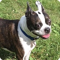 Boston Terrier Dog for adoption in Jackson, Tennessee - Rory