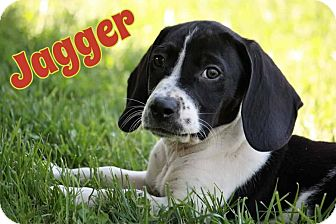 Basset Hound/Beagle Mix Puppy for adoption in WESTMINSTER, Maryland - Jagger