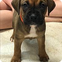 Adopt A Pet :: Millie - ST LOUIS, MO
