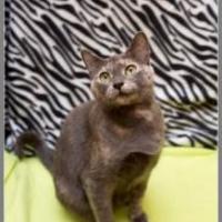 Adopt A Pet :: Malachi - McDonough, GA