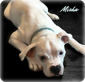 English Bulldog/American Pit Bull Terrier Mix Puppy for adoption in Des Moines, Iowa - Misha