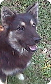Shepherd (Unknown Type)/Chow Chow Mix Dog for adoption in Anderson, South Carolina - Sophia