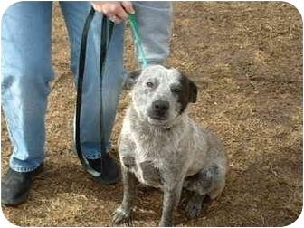 Australian Cattle Dog Mix Dog for adoption in Hamilton, Ohio - Belle