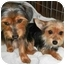 Photo 2 - Yorkie, Yorkshire Terrier/Chihuahua Mix Dog for adoption in Wimberley, Texas - Guido