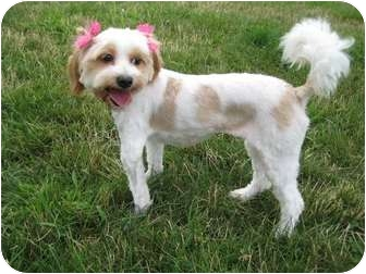 Shih Tzu/Poodle (Miniature) Mix Dog for adoption in Worcester, Massachusetts - Bella