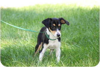 Jack Russell Terrier Mix Puppy for adoption in West Milford, New Jersey - WILLOW