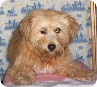 Wheaten Terrier Mix Dog for adoption in Pennington Gap, Virginia - Jaimie