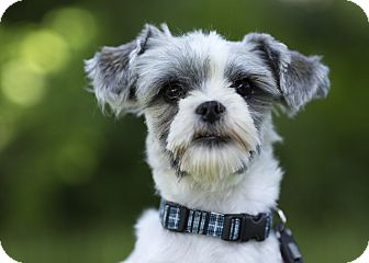 Shih Tzu Mix Dog for adoption in Ile-Perrot, Quebec - Reebok