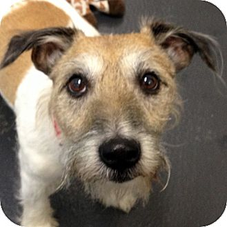 Jack Russell Terrier Mix Dog for adoption in Ithaca, New York - Riggly