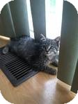 Domestic Shorthair Kitten for adoption in Chesterfield Township, Michigan - Sadie