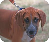Bloodhound/Boxer Mix Puppy for adoption in Washington, D.C. - Harry