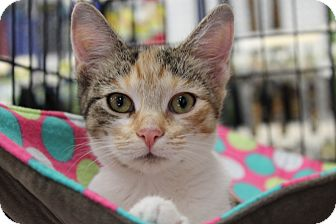 Calico Kitten for adoption in Santa Monica, California - Queenie