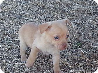 Chihuahua Mix Puppy for adoption in San Antonio, Texas - Chum Chum