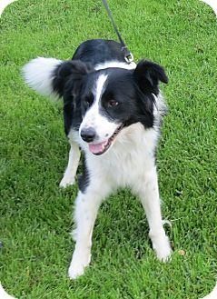 Border Collie Mix Dog for adoption in Monrovia, California - Luke