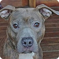 Adopt A Pet :: Dolce - Reisterstown, MD